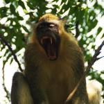 Les singes n'ont pas la vie facile...