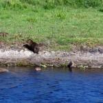 Au Brésil vivent les plus gros rongeurs du monde, le cabiai ou capybara mesurant environ 1,30 m de long pour plus de 50 kg...