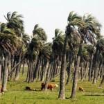 Sous les palmiers nous espérons croiser des singes et des perroquets. Mais non, les vaches nous suivent depuis la France.