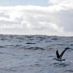 """""""Souvent pour s'amuser, les hommes d'équipage Prennent des albatros, vastes oiseaux des mers, Qui suivent, indolents compagnons de voyage, Le navire glissant sur les gouffres amers."""" Charles Baudelaire"""
