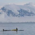 En mer nous avons croisé des dauphins et des baleines. Ici, ce sont les orques qui nous accompagnent… attention cependant à ne pas tomber à l'eau, ce sont les prédateurs les plus redoutables des mers !