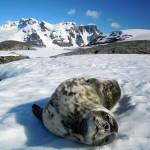 Ce jeune phoque de Weddell n'ayant aucun prédateur à terre, il se laisse photographier sans crainte…
