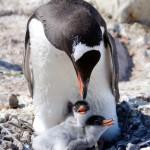 Les manchots Papou élèvent leurs enfants en couple, pendant que l'un des parents couve, l'autre part chercher à manger ou, ce qui arrive souvent, dérobe des petits cailloux dans les nids voisins pour conforter l'habitat de ses progénitures.