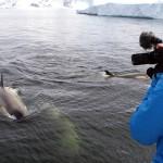 Les orques ont des techniques de chasse redoutables. Par exemple, lorsque les phoques sont allongés sur des floes (morceau de glace plat de quelques mètre carré), ils arrivent de front à plusieurs et, grâce à leur vitesse, font basculer le bloc de glace, faisant tomber les phoques dans l'eau… Ceux-ci ont peu de chance de s'en sortir.