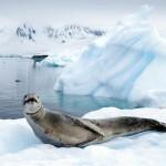 Le phoque Léopard est un redoutable prédateur que nous ne préférons pas rencontrer lors de nos quelques session de plongée...