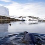 C'est au tour de Siphay de nager quelques instants en compagnie d'un phoque de Weddell.