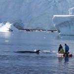 Nous avons passé plusieurs minutes en compagnie de cette baleine, qui se nourrissaient de Krill très abondant dans cette baie. Elle s'approche parfois à quelques mètres de nous mais heureusement, sans jamais nous toucher...