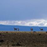 Les lamas nous encouragent !!!