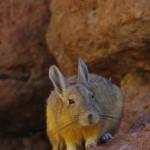 Vizcacha ou lièvre des pampas. Nous avons la chance de le surprendre en plein jour car cette espèce est essentiellement nocturne.