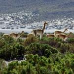 Il existe quatre variétés de lamas dans les Andes: les lamas, l'alpaga, le guanaco et la vigogne. Ici un troupeau de vigognes. Sa fibre a été qualifiée comme la plus fine parmi toutes les fibres animales. La faune de l'Altiplano nous interpelle alors que nous vadrouillons sur les chemins.