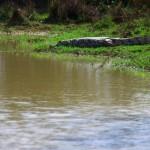 En Bolivie, nous empruntons une portion infestée de caïmans. Pendant quelques jours, ils nous tiennent compagnie. Tant que l'on reste sur la piste, nous ne courrons aucun risque : ces bestioles sont plutôt peureuses des gros animaux terrestres que nous sommes. Attention toutefois de ne pas s'approcher de leur terrain de jeu au bord des étangs…