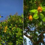 Les oiseaux « bem-ti-vi », du bruit de son piaillement. Ils évoluent dans les arbres produisant les cajous. C'est à partir de ces fruits qu'on extrait la noix de cajou que l'on connaît en France.