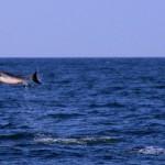 En navigation au milieu des Caraïbes, les dauphins nous offrent un spectacle génial. Presque chaque jour nous avons droit à leur compagnie. Juste magique !