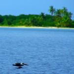 Les pélicans à la pêche dans les îles San Blas. Ces nouveaux compagnons de navigation font partie du paysage. Un réel calme et une grande douceur règne dans les parages.