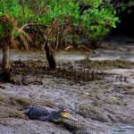 Les caïmans rodent près des habitations à l'embouchure. Jean-Marc, un ami à nous, nous a raconté que des crocodiles se sont déjà perdus en mer à 200m de là, au milieu des surfers. Puis nous avons appris que le lendemain de notre passage, un chien inattentif s'est transformé en repas...