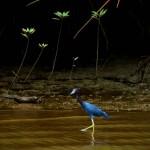 Au milieu des mangroves tropicales, le héron bleu vadrouille.