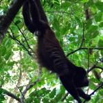 On entend les singes hurleurs partout ici. Le pays détient une biodiversité énorme en comparaison de sa taille : 6% de la biodiversité mondiale alors qu'il ne représente que 0.03% des surfaces émmergées du globe.