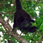 Un singe hurleur en train d'apprécier un bon repas.