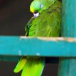 Les oiseaux sont de toute beauté. Ici un perroquet vert en pleine sieste.