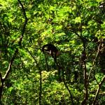 Au pied des volcans, le singe capucin se déplace en bande et n'aime pas trop être dérangé.