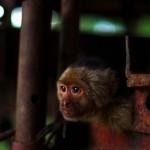 L'Amérique centrale jouit d'un climat tropical et les animaux qui vont avec. Les singes, qui nous tiennent compagnie depuis l'Amazonie, sont toujours autant de la partie.