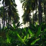Ici nous constatons que chaque mètre carré est bien exploitable. De vastes champs de cocotiers sont souvent doublés par des bananiers. Production optimisée, nous ne nous plaignons pas de pouvoir consommer et trouver autant de ces fruits tropicaux, climat oblige ;)