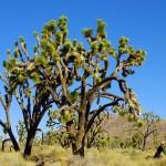 """Des forêts de """"Joshua Trees"""", cette arbre typique du désert de Mojave en Californie. Un apparent mélange entre cactus et arbre, magnifique."""