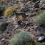 Les coyotes sont nos nouveaux compagnons de route. Nous en voyons régulièrement sur le bord des routes où l'on rencontre beaucoup moins de trafic qu'au Mexique.
