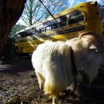 Ce soir là nous sommes reçus chez Steven dans la petite ville d'Orick qui donne sur le parc national de Redwoods. Steven nous présente ses animaux : bouc, poules, chiens, chats... et son trésor le School Bus américain planté dans le jardin :)