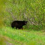 En général les ours que nous voyons s'en vont rapidement lorsqu'ils nous repèrent. Ils partent en courant se cacher dans les bois et il nous faut vite dégainer pour capturer ces images.