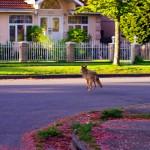Les coyotes rôdent en ville. Il n'est pas rare de voir les animaux sauvages venir s'approprier les rues : coyotes, raton-laveurs et même quelques ours parfois !