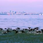 Vue sur Vancouver depuis le détroit de Géorgie entre la ville et l'île du même nom. Les canards sauvages profitent des eaux calmes pour aller pêcher.