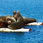 Fanny Bay, Vancouver Island. Les lions de mer profitent aux aussi du soleil :)