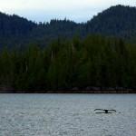 Au beau milieu des fjords canadiens, la vie sauvage environnante rend la navigation excitante. La faune maritime n'est pas en reste : lions de mers, phoques, dauphins et même des baleines comme sur ce cliché.