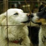 Les « mushers » sont nombreux dans la région. Ces amoureux du chien de traineau, moyen de locomotion ancestral du grand nord canadien, ont parfois des dizaines de chiens chez eux et c'est tout un travail. Ici les chiens de Moira, rencontrée à Whitehorse : ils ne sont pas en laisse, chose rare dans un élevage, et paraissent s'apprécier.