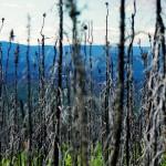 Nous croisons souvent des pans de forêts entiers brûlés. L'été est sec ici et, lorsqu'il ne pleut pas, les feus de forêt sont fréquents. Parfois, des centaines de milliers de kilomètres carrés partent en fumée et ces feux sont de plus en plus fréquents dans la région. Certains chercheurs affirment que la forêt d'Alaska rejette plus de carbone qu'elle n'en absorbe.