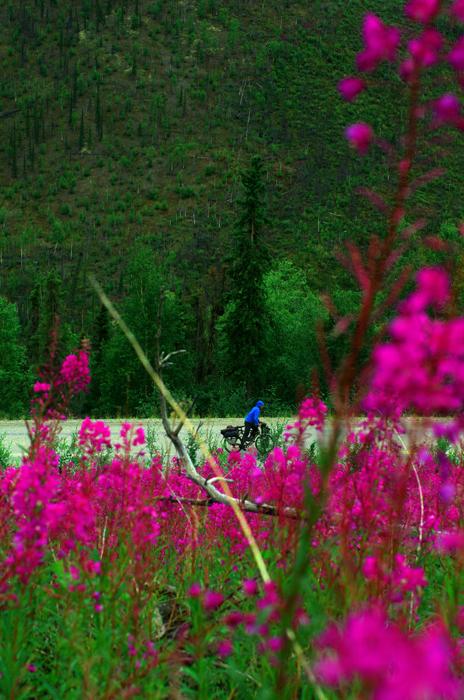 """L'épilobe en épi ou la """"fireweed"""" est la fleur symbolique du grand nord. Elle porte ce nom car elle pousse très facilement aux endroits où il y a eu des feux de forêts. Nous voyons parfois des champs entiers de couleurs violette sur les montagnes, un paysage unique de cette région."""