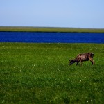 Une femelle caribou isolée avec en fond les premiers signes du site industriel de Prudhoe Bay.