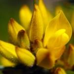 Les plantes et fleurs de la Nouvelle Zélande sont pour la plupart endémiques au pays, vous ne les trouverez nulle part ailleurs. Cette plante là, malgré ses jolies fleurs, les Maori s'en servaient de clôture naturelle, avec les épines qui se trouvent sur sa tige.