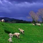 Impossible de repartir de la Nouvelle Zélande sans une photo des ses moutons ! Dans les champs sur le bord de la route ou quelquefois dans notre assiette, ils auront largement fait partie de notre aventure ici !