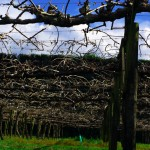 """Te Puke est la capitale mondiale du kiwi. Depuis 2 ou 3 ans, les exploitations de kiwi sont infectées par la maladie """"PSA"""". A l'origine importée par mégarde depuis l'Italie, cette maladie a décimé énormément de cultures autour de Te Puke. Val & Richard nous ont expliqué que l'économie locale en a pris un sérieux coup. Les recherches sont toujours en cours pour essayer d'éradiquer ce cancer..."""