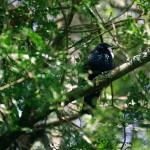 Le TUI, est une espèce de passereau endémique de Nouvelle-Zélande. Cet oiseau au chant si particulier est extrêment présent en Nouvelle Zélande. Ils sont considérés comme des oiseaux « intelligents », tout comme les perroquets, par leur capacité à imiter la voix humaine.