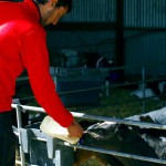 Cela prend 2 ans avant d'avoir une vache qui puisse produire du lait. Il faut prendre le temps de les élever ! Pour cela, comptez sur Etienne, toujours dans son élément dans les endroits champêtres !