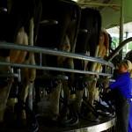 Simon nous informe que ses vaches peuvent produire jusqu'à 49L de lait par jour chacune ! Il vend ses vaches à l'étranger pour leur qualité. Son exploitation produit 10 000 à 12 000 L par jour. Une vraie usine !