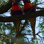 Ceux-là aussi on peut les voir dans pas mal d'endroits de la ville : les Rainbow Lorikeet. Leurs couleurs étonnent.
