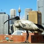 Les ibis blancs australiens se baladent partout dans la ville de Sydney. Pour nous européens, c'est surprenant de voir ces oiseaux en plein centre ville, nous les aurions plutôt placer dans une réserve ou dans un zoo !