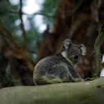 Les Koalas passent la majorité de leur vie perchés dans les eucalyptus dont ils mangent les feuilles. Tandis que nous roulons dans ces forêts à la faune et la flore endémique nous levons les yeux au ciel et voyons un perroquet par ci, un koala par là... et ce dernier pose volontiers pour la photo, pas besoin de lui demander de ne pas trop bouger... il est aussi excité qu'un paresseux.