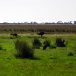 Le mythe est bel et bien réel. Il n'est pas rare de tomber nez à nez avec nos amis wallabies ou kangourous en libertés sur le bord de la route.