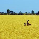 Même les kangourous nous regardent partir avec curiosité ! — in Balaklava, South Australia.
