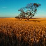Premier jour en partant d'Adelaide, nous avançons au milieu des champs de blé. Les couleurs sont vives. — in Balaklava, South Australia.